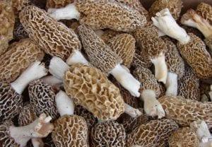morel-mushrooms Wingman Digital Web Design